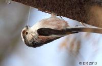 Long-tailed Tit gathering cobwebs