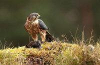 (viii) Merlin (Falco columbarius)