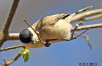 Marsh Tit extracting grubs from Hazel buds