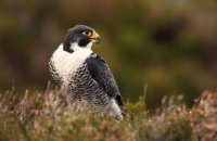 (i) Peregrine Falcon (Falco peregrinus)