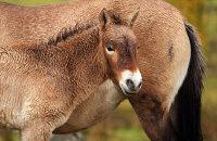(i) Przewalkski's Wild Horse (Equus caballus przewalski)