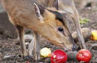 Muntjac feeding on apples