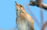 Common Nightingale singing