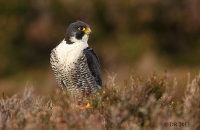 (ii) Peregrine Falcon (Falco peregrinus)