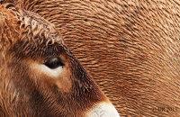(ii) Przewalkski's Wild Horse (Equus caballus przewalski)