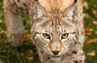 (i) Northern Lynx (Lynx lynx lynx)