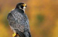 (iii) Peregrine Falcon (Falco peregrinus)