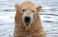 (i) Polar Bear (Ursus maritimus) with lunch