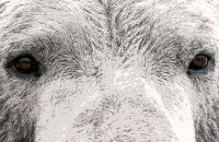 (iii) Polar Bear (Ursus maritimus) 'Polar Ize'