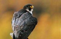(iv) Peregrine Falcon (Falco peregrinus)