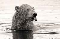 (iv) Polar Bear (Ursus maritimus) Sepia