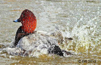 Pochard bathing