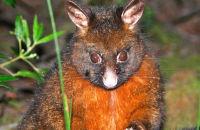 Brush-tailed Possum, Tasmania
