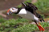 Puffin taking off (Fratercula arctica)