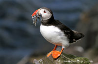 Puffin with Sand eels (Fratercula arctica)