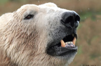(v) Polar Bear (Ursus maritimus)