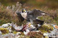 (v) Peregrine Falcon (Falco peregrinus) with pigeon