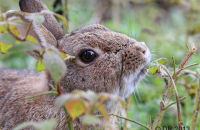 Rabbit nibbling at nettles around a feeding station