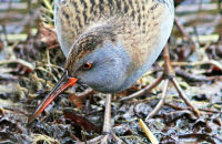 (1) Water Rail searching for food