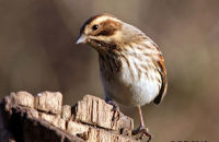 (1) Reed Bunting
