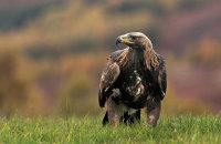 (i) Golden Eagle (Aquila chrysaetos)