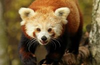 (i) Red Panda (Ailurus fulgens)