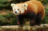 (ii) Red Panda (Ailurus fulgens)
