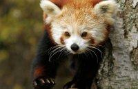 (iii) Red Panda (Ailurus fulgens)