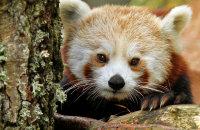(iv) Red Panda (Ailurus fulgens)
