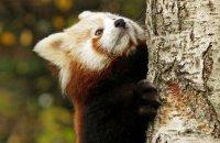 (v) Red Panda (Ailurus fulgens)
