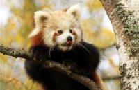 (vi) Red Panda (Ailurus fulgens)