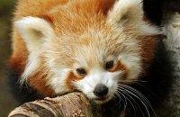 (vii) Red Panda (Ailurus fulgens)