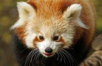 (viii) Red Panda (Ailurus fulgens)