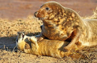 (1) Grey Seals; mothers and pups