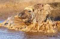 (1) Bull Grey Seal