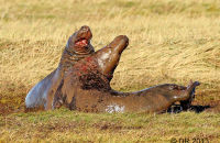 (1) Bull Grey Seals fighting