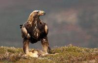 (ii) Golden Eagle (Aquila chrysaetos) - Following sequence with a rabbit
