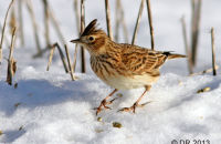 (1) Skylark searching for food in the snow