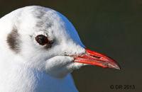 Winter Black-headed Gull