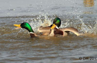 Drake Mallards fighting over females