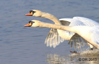 Mute Swans coming in to land