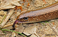 Slow Worm on a forest path