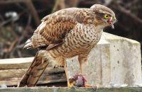 (1) Sparrowhawk in my garden - eating an unfortunate dunnock