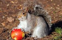 Grey Squirrel enjoying an apple
