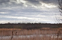 The starling flock seems to drift along the reedbed as millions of birds seek a suitable roosting spot