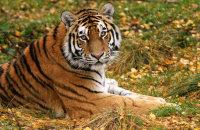 (i) Amur Tiger  'Dominika'  (Panthera tigris altaica)