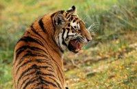 (ii) Amur Tiger 'Dominika' (Panthera tigris altaica)