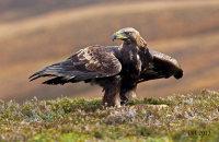 (iii) Golden Eagle (Aquila chrysaetos)