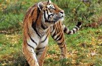 (iv) Amur Tiger 'Dominika' (Panthera tigris altaica)