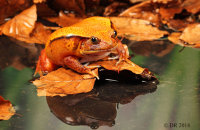 (ii) False Tomato-Frog (Dyscophus guineti)